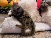 quality Capuchin marmoset Babies cute