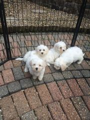 Pure White Bichon Friese Puppies For Sale.