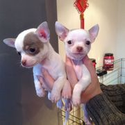 2 Tiny Chihuahua Boys & Girl For Sale(kc Reg)ready To Go