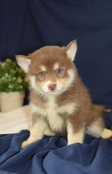 DSDS checked friendly,  and sociable Pomsky For Sale 07031957695