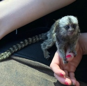 DSHD Pairs Capuchin pygmy marmoset available 07031956739