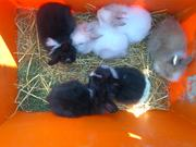 5 baby liionhead rabbits in rustington